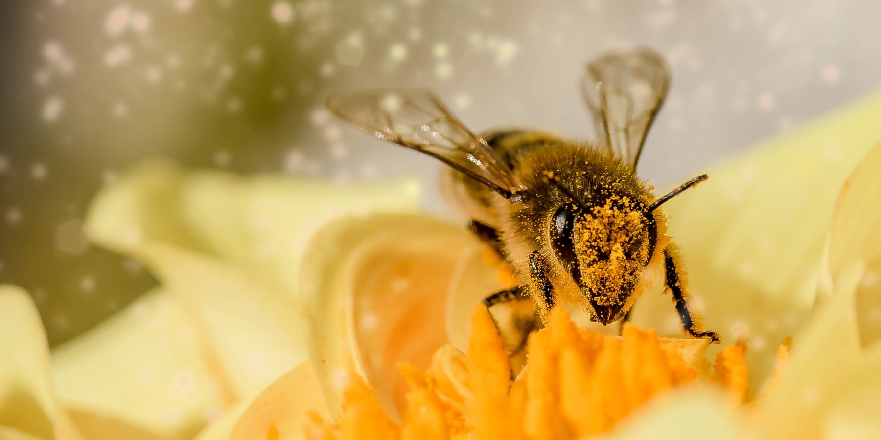 Melli l'abeille